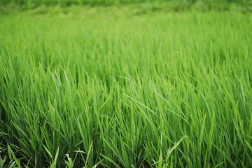 Vì sao Việt Nam phải nhập cỏ?