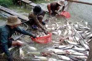 Giá thu mua cá basa tăng đến 24.000 đồng/kg