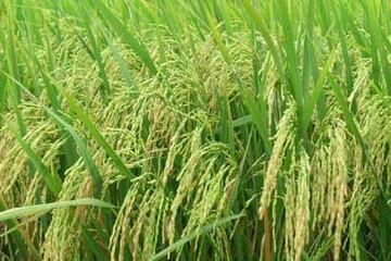 Sản lượng lúa thu đông đạt trên 2 triệu tấn