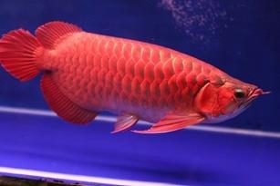 Cá rồng đỏ quý hiếm giá 1,2 tỉ đồng