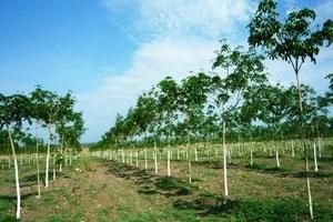 Tập đoàn Cao su triển khai nhiều dự án kinh tế tại Campuchia