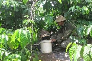 Đắk Nông: Cà phê bị rụng quả hàng loạt