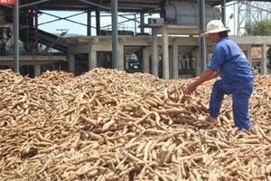 Thị trường Trung Quốc bóp nghẹt sắn Việt