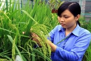 Ngập lụt gây thiếu lúa giống cho vụ Đông Xuân