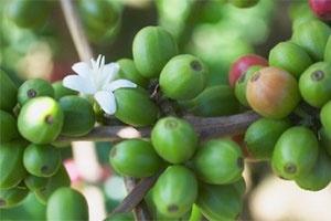 Đắk Lắk: nghiêm cấm thu hái, mua bán cà phê non