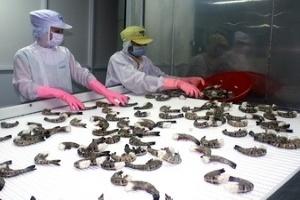 Giá thu mua tôm nguyên liệu ở Cà Mau tăng kỷ lục
