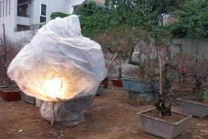 Rét đậm, giá đào, quất sẽ tăng 20 – 30%