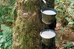 Hơn 27.400 ha cao su bị bệnh phấn trắng