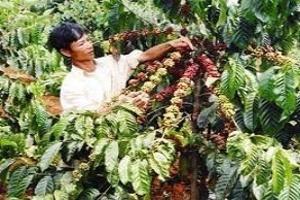 Volcafe: Sản lượng cà phê Việt Nam tăng mạnh trong năm nay