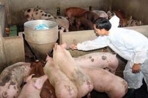 Nhiều cơ sở chăn nuôi đang tiếp tục bị thua lỗ lớn