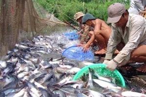 Người nuôi cá tra lỗ 2 – 5 triệu đồng/tấn cá