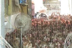 Ngập chợ, gà thải Trung Quốc 'đội lốt' gà ta