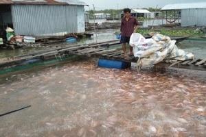 Giá cá điêu hồng Đồng Tháp giảm mạnh vì tin đồn