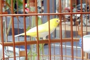 Đại gia Hà thành chơi chim biến đổi gen giá 10.000 USD