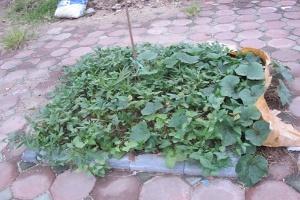 Dân phố đua nhau trồng rau trên sân thượng, vỉa hè