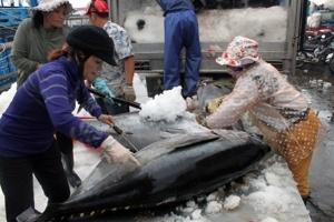 """""""Nhập"""" công nghệ câu từ Trung Quốc, nguy cho cá ngừ Bình Định"""