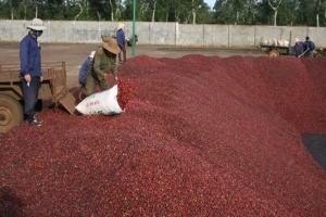 Người trồng cà phê tiếp tục lao đao
