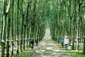 Việt Nam thành nước xuất khẩu cao su tự nhiên thứ 3 thế giới