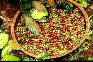 Thời tiết biến động, ảnh hưởng tới sản lượng cà phê