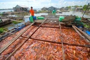 Giá cá điêu hồng bắt đầu tăng