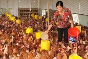 Doanh nghiệp thức ăn chăn nuôi: Bị hành đủ thứ