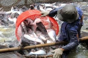 Agifish ký hợp đồng xuất khẩu 10.000 tấn cá tra sang Mỹ
