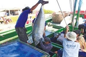 Ngư dân gặp khó vì cá ngừ đại dương rớt giá