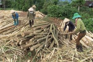 Khai thác rừng trồng ở Đắc Lắc: Càng bán càng lỗ