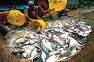 Giá cá tra nguyên liệu tăng