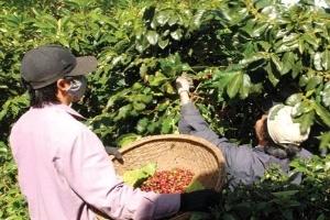 Giành quyền mua cà phê bằng chính sách?