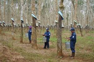 Đồng Nai: 'Khai tử' gần 2,7 triệu m2 đất trồng cao su để... trồng mì