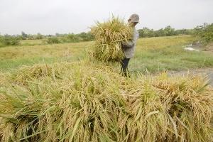 Cần Thơ: Giá lúa vừa thấp vừa bấp bênh