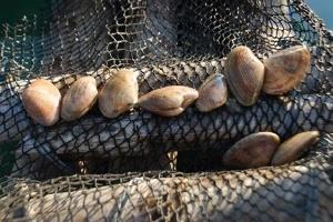 Thanh Hóa: Ngao xuất khẩu bí đầu ra