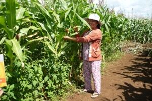 Tìm hướng thay thế cây lúa: Ngô, đậu nành không lo đầu ra