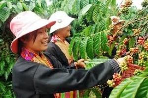 Sản lượng cà phê của Việt Nam dự kiến giảm 15%