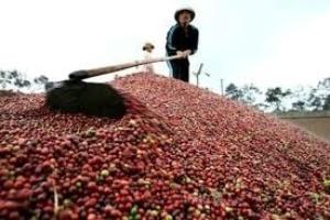Ngành cà phê nợ xấu hơn 6.300 tỉ đồng