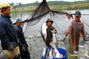 ĐBSCL: Diện tích thả nuôi cá tra giảm, người nuôi tiếp tục thua lỗ
