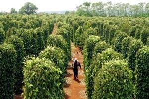 Việt Nam nhập hồ tiêu để xuất khẩu
