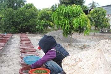 Nghề trồng hoa cúc Tết ở Can Lâm