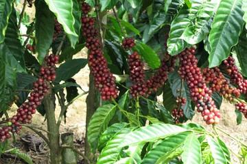 Phú Yên: Trồng cà phê lỗ nặng
