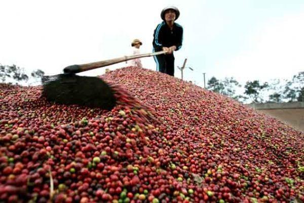 Xuất khẩu cà phê 10 tháng đạt gần 1,1 triệu tấn