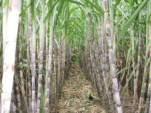 Đầu tư 13 triệu USD nâng cao năng lực sản xuất đường