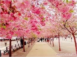 Hà Nội tiếp nhận 400 cây hoa anh đào do Nhật Bản tặng