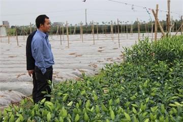 Thuê đất trồng ly, thu tiền tỷ