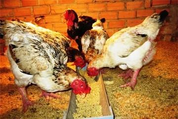 Kiếm tiền từ nuôi gà Đông Tảo