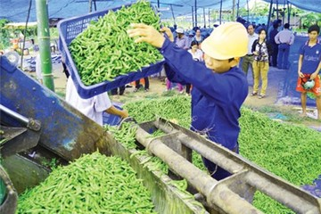 An Giang: Tiêu hủy rau xuất khẩu nhiễm thuốc bảo vệ thực vật