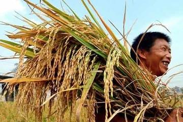Gạo tết vào mùa, lúa trúng giá