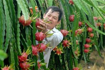 Nỗi lo của người trồng thanh long