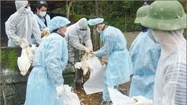 Quảng Ngãi tập trung dập dịch cúm gia cầm H5N1