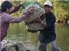 Quảng Nam: Sả tăng giá vì nguồn cung khan hiếm